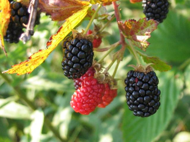 A cluster of blackberries on a stem.