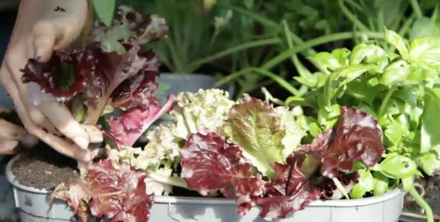 Hand planting lettuce in a window box