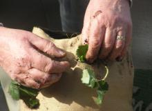 Hands planting strawberry plant in bag / sack garden