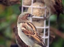 Sparrows eating a bird cake in the garden
