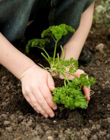 Hands planting parsley in the ground