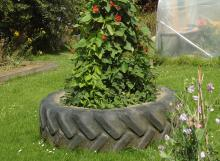 Beans growing up poles inside a tractor tyre